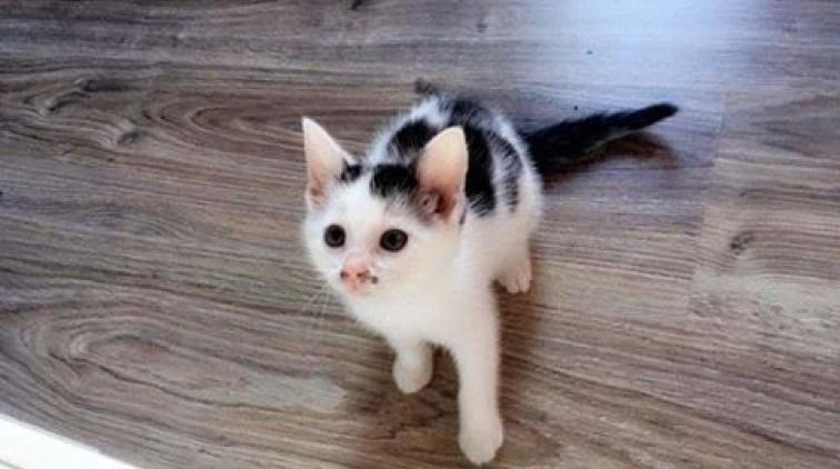 Dwumiesięczny kociak
