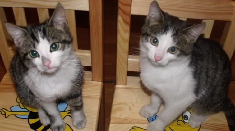 Fredzio i Bruno - dwa kocurki do adopcji